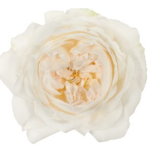Roses Garden White Purity