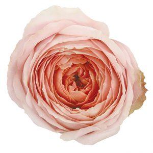 Roses Garden Pink Romantic Antike