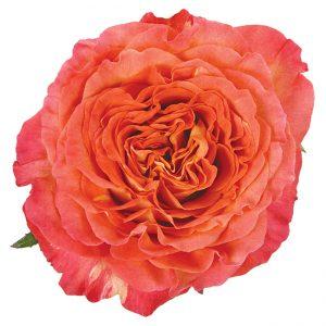 Roses Garden Orange Sunset