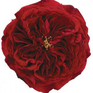 Roses Garden Red Tess