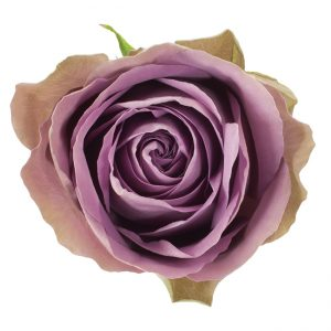 Roses Garden Lavender Tiara