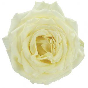 Roses Garden White Vitality