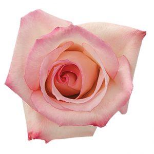 Rose Pink Vouge