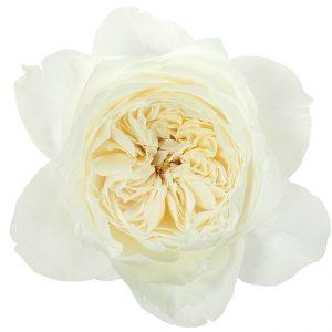 Roses Garden White White Cloud