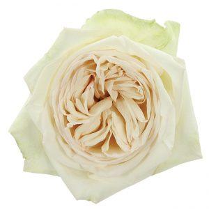 Roses Garden White White O'Hara