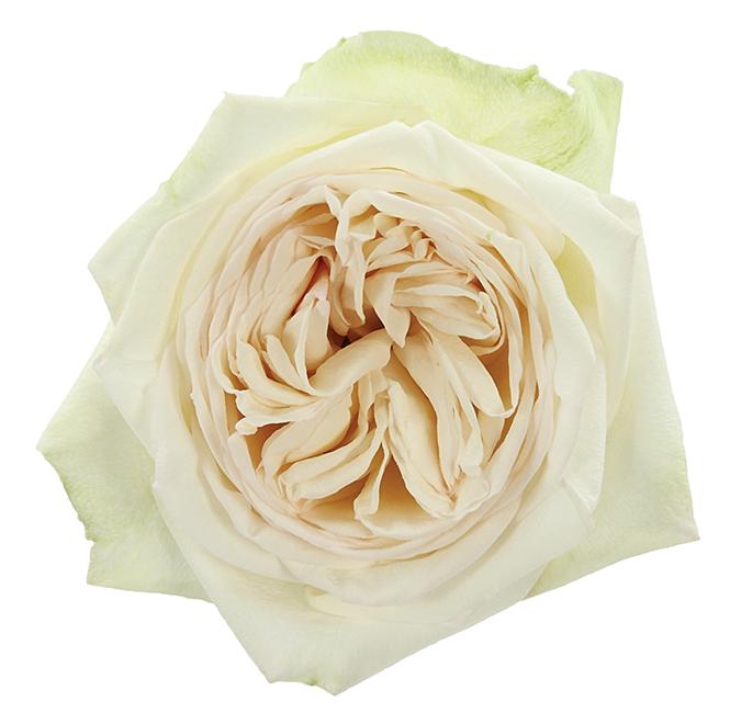 Roses Garden White White Ou0027Hara